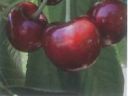 Ciliegio dolce SPC106 - Plantgest.com
