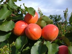 Albicocco Anegat - Plantgest.com