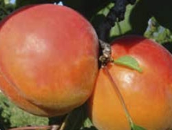Albicocco Digat - Plantgest.com