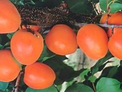 Albicocco Medalis - Plantgest.com
