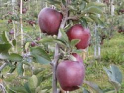 Melo Red Del. Mema - Plantgest.com