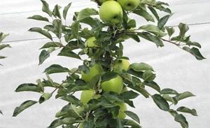 Melo Smeralda - Plantgest.com