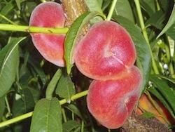 Pesco a polpa gialla Sweet Ring - Plantgest.com