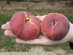 Pesco a polpa bianca Pink Ring - Plantgest.com