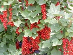 Ribes rosso Augustus - Plantgest.com