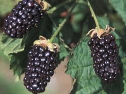 Rovo o mora Black Pearl - Plantgest.com