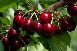 Ciliegio dolce Sweet Aryana - Plantgest.com