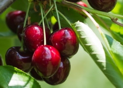 Ciliegio dolce Sweet Valina - Plantgest.com