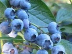 Mirtillo americano Ozarkblue - Plantgest.com