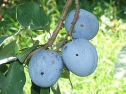 Susino europeo Blue Moon - Plantgest.com