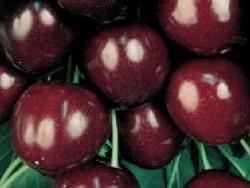 Ciliegio dolce Durone Nero III - Plantgest.com