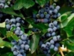 Mirtillo americano Blue Jay - Plantgest.com