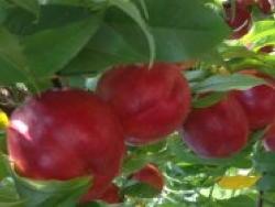 Nettarina a polpa gialla Extreme® June - Plantgest.com