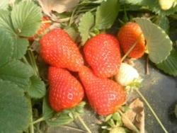 Fragola Sahara - Plantgest.com