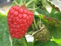 Lampone rosso Adelita - Plantgest.com