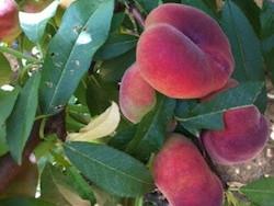 Pesco a polpa bianca Blanvio® 10 - Plantgest.com