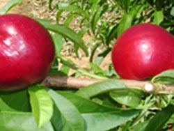 Nettarina a polpa gialla Zincal® 3 - Plantgest.com