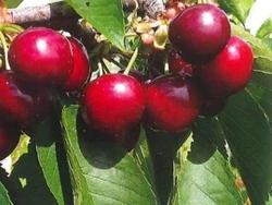 Ciliegio dolce Nimba - Plantgest.com