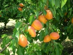 Albicocco Farbela - Plantgest.com
