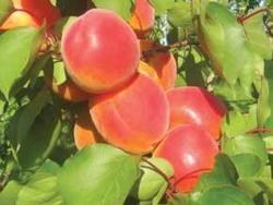 Albicocco Delice Cot - Plantgest.com