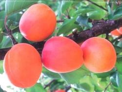 Albicocco Medflo - Plantgest.com