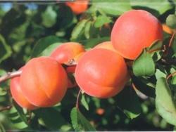Albicocco Mediva - Plantgest.com