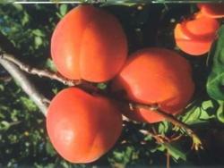Albicocco Medoly - Plantgest.com