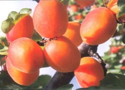 Albicocco Primidi - Plantgest.com