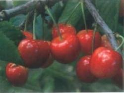 Ciliegio dolce Starletta - Plantgest.com