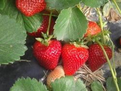 Fragola Aura - Plantgest.com
