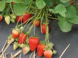 Fragola Olympia - Plantgest.com