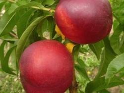 Nettarina a polpa gialla Big Glory - Plantgest.com