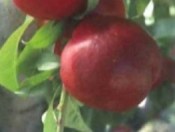 Nettarina a polpa bianca Queen Diamond - Plantgest.com