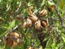 Mandorlo Texas - Plantgest.com