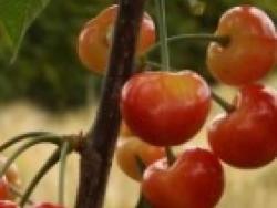 Ciliegio dolce Rainier - Plantgest.com