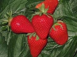 Fragola Sibilla - Plantgest.com