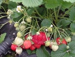 Fragola Favette - Plantgest.com