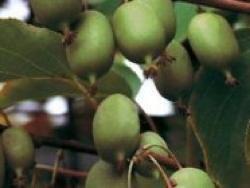 Actinidia arguta Weiki - Plantgest.com