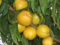 Percoca Maria Dorata - Plantgest.com