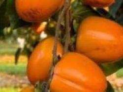 Loti o kaki Cioccolatino - Plantgest.com