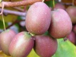 Actinidia arguta Ananasnaya - Plantgest.com