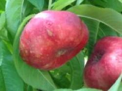 Nettarina a polpa bianca Platerina® 126 - Plantgest.com