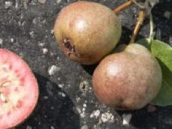 Pero Cocomerina - Plantgest.com