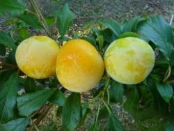 Susino cino-giapponese Honey Moon - Plantgest.com