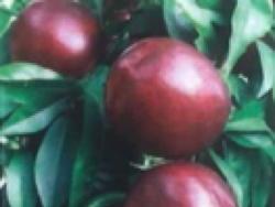 Nettarina a polpa bianca Queen Bright - Plantgest.com