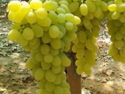 Vittoria vite per uva da tavola plantgest - Uva da tavola precoce ...
