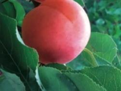 Albicocco Calima - Plantgest.com