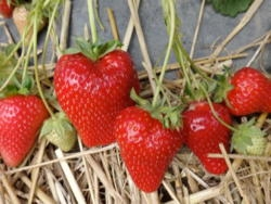 Fragola Premy - Plantgest.com
