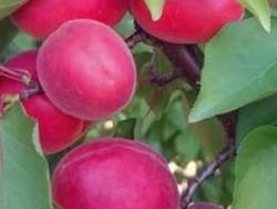 Albicocco Nikko - Plantgest.com