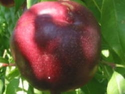 Nettarina a polpa bianca Nectavigne - Plantgest.com